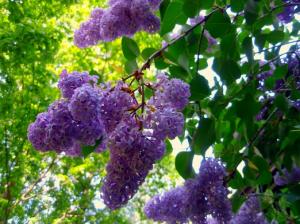 Franktown Lilac Festival